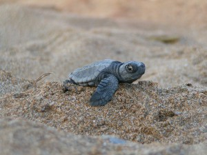 One baby turtle