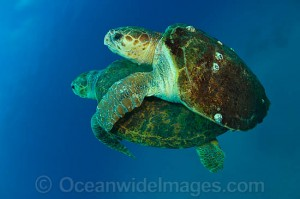 turtle29